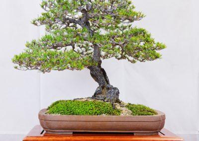 Kei Ikari  |  Japanese Black Pine