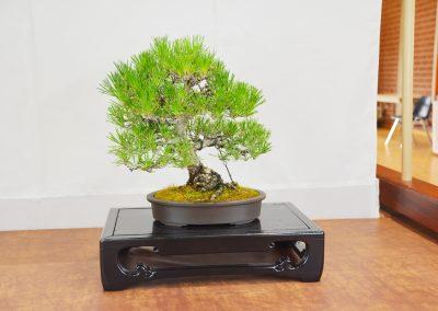 Michael Izumoto  |  Japanese Black Pine
