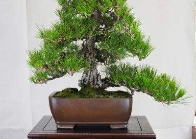 June Nguy  |  Japanese Black Pine