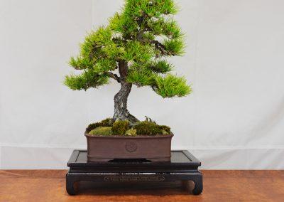 Tyler Ferrer  |  Japanese Black Pine